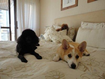 Fiji e seus amigos poodles relaxando na cama da mamãe...